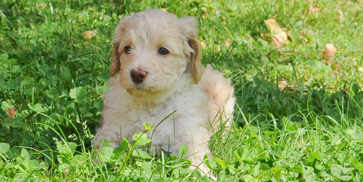 Australian Labradoodles: Puppy lying down in the grass